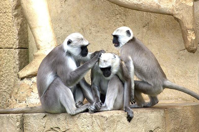 Žaliosios Afrikos beždžionės