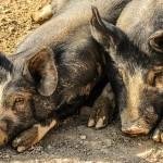 Vilniuje uždarytas lenkiška kiauliena prekiavęs paviljonas (bijomasi afrikinio kiaulių maro)