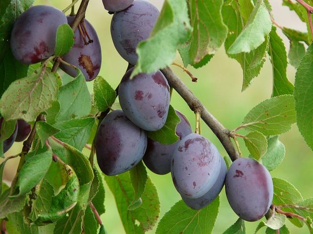 Figos šviežios naudingosios savybės, kalorijų kiekis. Naudingos džiovintų figų savybės