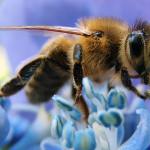 Ką daryti įgėlus širšei, bitei ar kitam nuodingam vabzdžiui? (išsamūs gydytojų patarimai ir paaiškinimai)