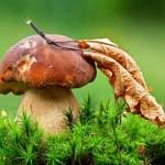 Mokslininkė: grybuose aptinkami junginiai – priemonė gydyti vėžinius susirgimus