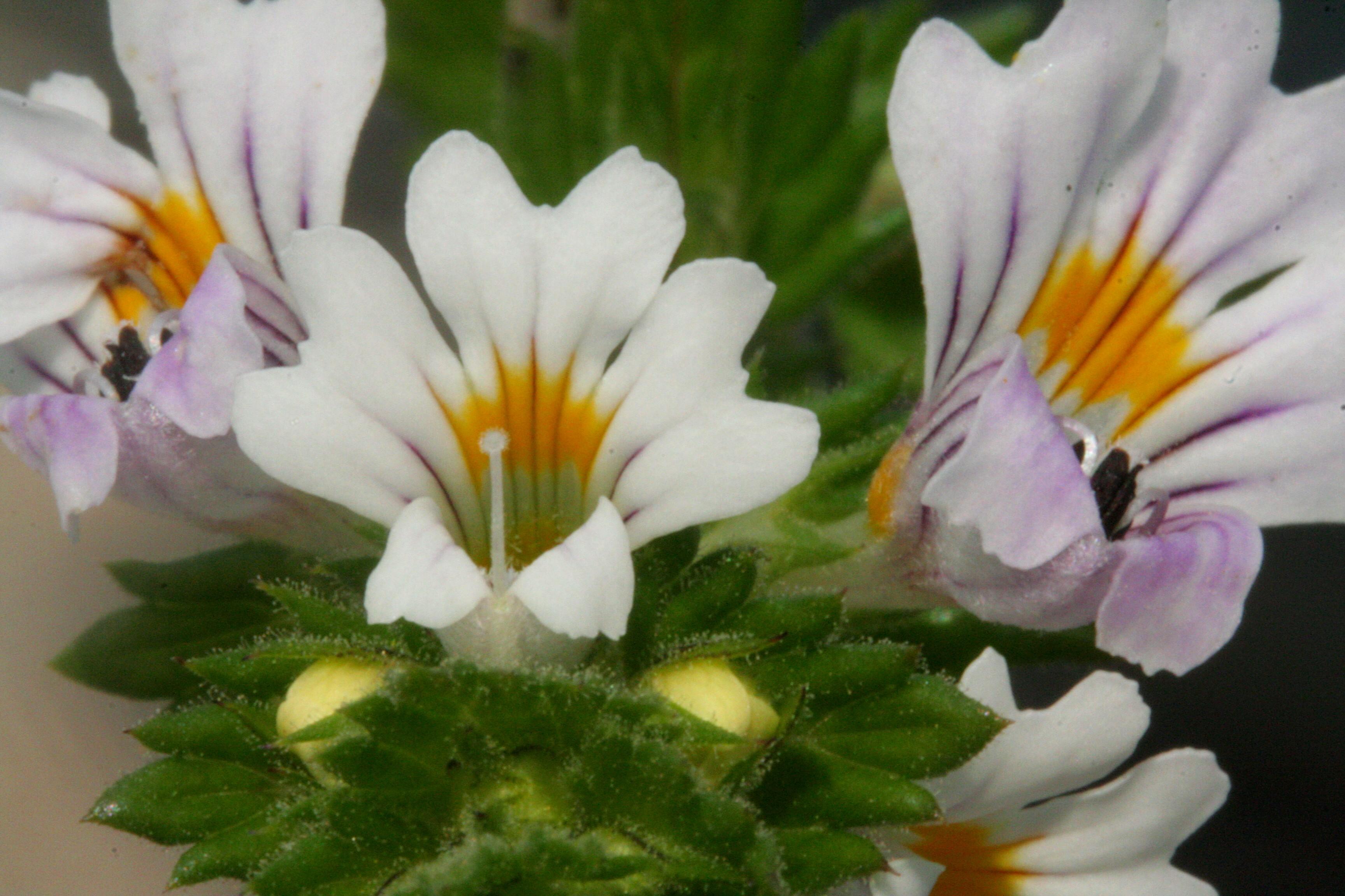 Akišveitė gydo visas akių ligas. Jeigu norėtumėte ją užsiauginti darže, jums nepavyktų. Ją reikėtų sėti tik į pievą. (wikimedia.org nuotr.)