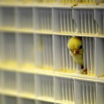 Į Europą atkeliavęs paukščių gripas gali būti pavojingas žmonėms