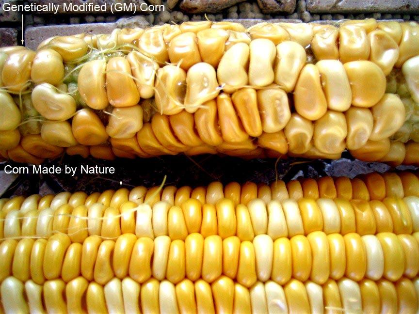 Europos Sąjungoje komerciniais tikslais auginama viena genetiškai modifikuotų kukurūzų rūšis – MON 810.  (wikispaces.com nuotr.)