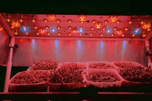 Mikrožalumynai po tyrimams naudojama valdomo LED apšvietimo spektro lempa. (A. Viršilės nuotr.)