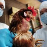Daugėja paukščių gripo aukų