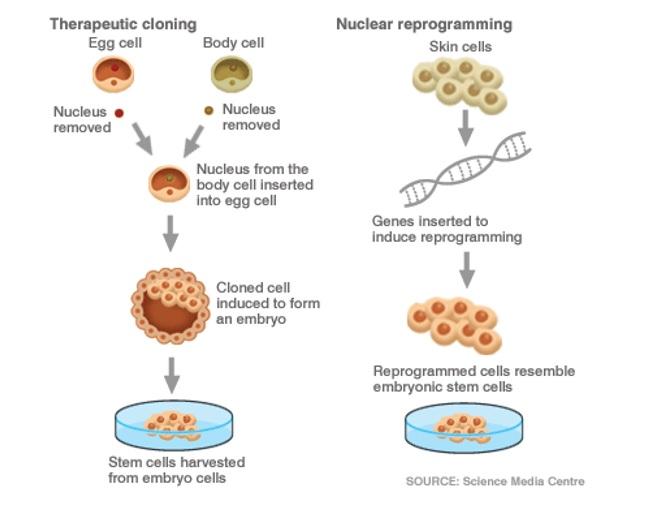 Skirtingi kamieninių ląstelių gavimo būdai. A – į kiaušialąstę perkeliamas somatinės ląstelės branduolys ir iš jos susiformuoja embrioninės kamieninės ląstelės. B – keičiant somatinių (pavyzdžiui, odos) ląstelių genomą jos paverčiamos kamieninėmis.