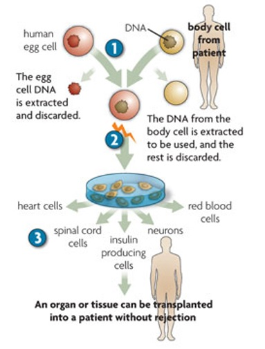 Terapinio klonavimo principas. 1 – paciento somatinės ląstelės branduolys perkeliamas į kiaušialąstę. 2 – kiaušialąstei besidalinant po kelių dienų išsivysto kamieninės ląstelės. 3 – kamieninės ląstelės gali diferencijuotis į bet kurią specializuotą organizmo ląstelę ir galėtų būti transplantuotos recipientui.