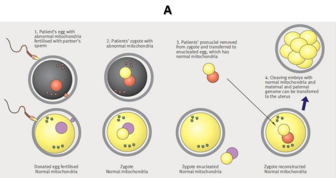 Branduolio DNR perkėlimas po apvaisinimo