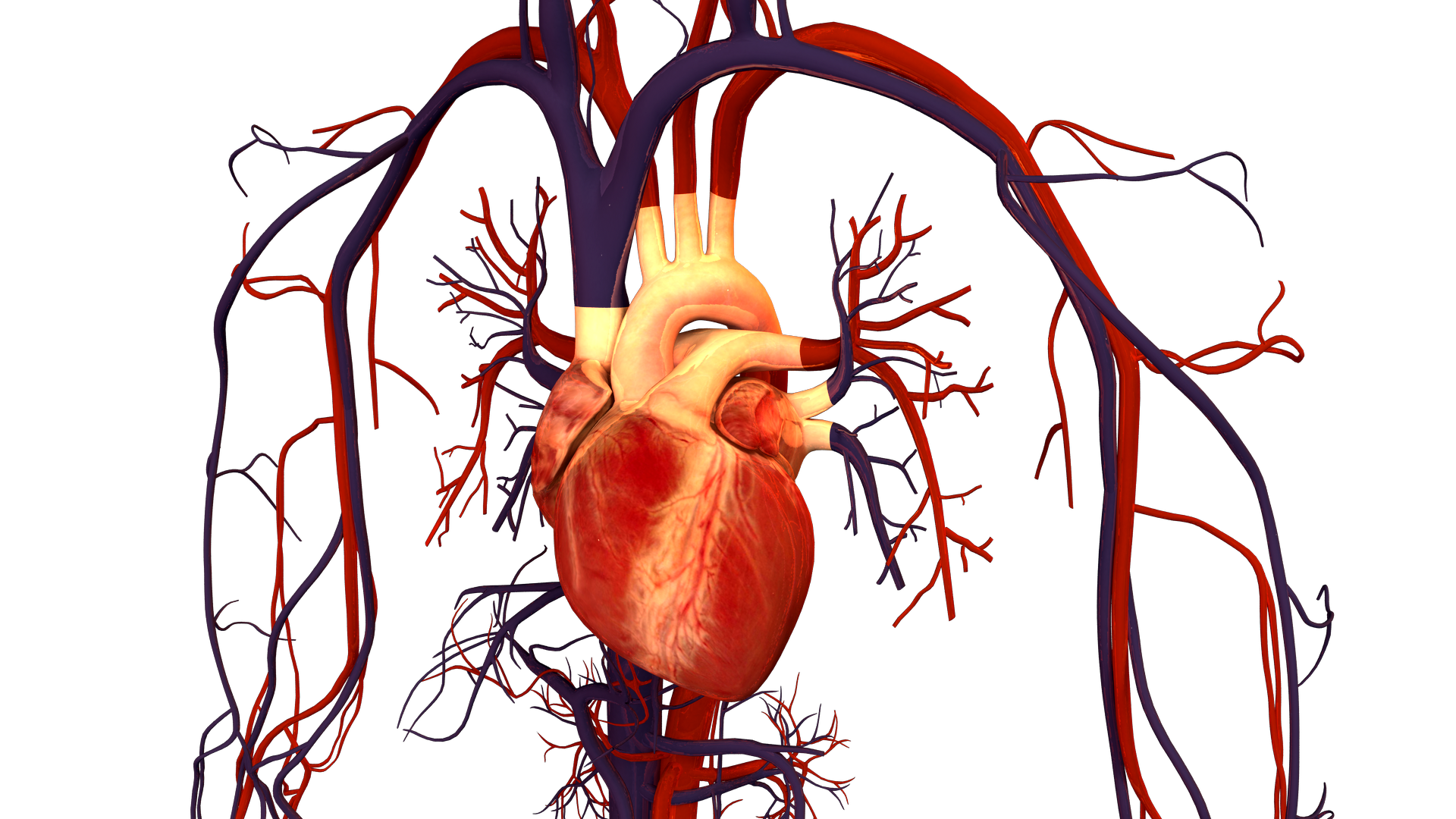 Žmogaus širdis ir kraujotakos sistema. (wikihow.org nuotr.)